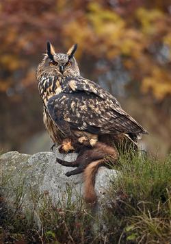 Eurasian eagle-owl is a protected predator.