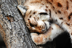 Eurasian lynx was reintroduced and protected after extensive hunting in the past.