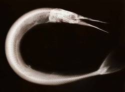X-ray fine art photography of needlefish by Peter Dazeley