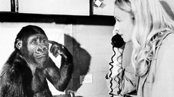 Koko, pictured here with her longtime caretaker and teacher, Penny Patterson, in 1975