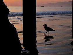 A common bird called the                                 California gull                                found on the beach
