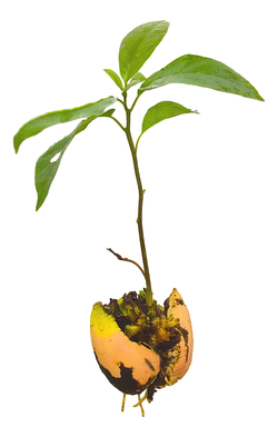 Persea americana                                , young avocado plant (seedling), complete with parted pit and roots