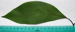 Avocado houseplant leaf with ruler to indicate size