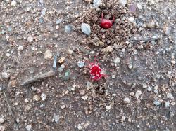 Red Velvet Mites one burrowing, Cochise, Arizona; Chihuahua Desert after heavy monsoon rain.