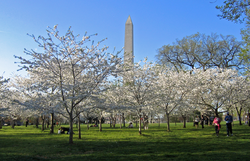 The National Cherry Blossom Festival is celebrated around the city each spring.