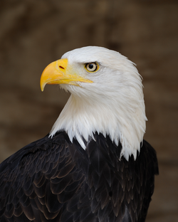 The bald eagle has been the national bird of the United States since 1782.[162]