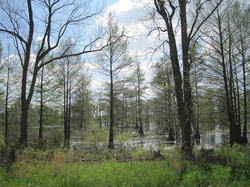 The flooded forested bottomlands of east Arkansas attract wintering waterfowl (Wapanocca National Wildlife Refuge ).