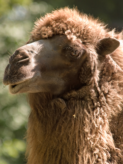 A camel's thick coat is one of its many adaptations that aid it in desert-like conditions.
