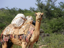 Somalia has the world's largest population of camels.