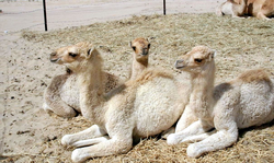Domesticated camel calves lying in sternal recumbency, a position that aids heat loss