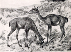 Antelope-like ancient camel,                                                   Stenomylus