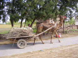 Camels are used as draft animals in Pakistan.