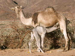 Camel calf feeding on its mother's milk