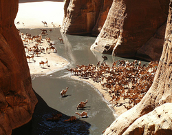 Camels in the Guelta d'Archei, in northeastern Chad