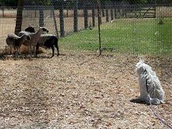 Beast Herding Sheep