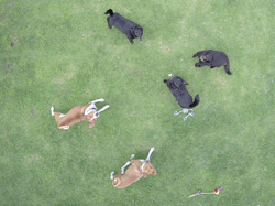 Riccadro's dogs looking up at his drone. [2]​