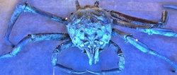 Giant Spider Crab wiki, Giant Spider Crab history, Giant Spider Crab news