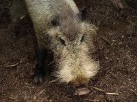 Palawan bearded pig wiki, Palawan bearded pig history, Palawan bearded pig news