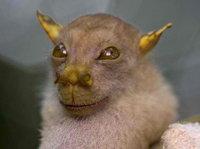 Philippine tube-nosed fruit bat wiki, Philippine tube-nosed fruit bat history, Philippine tube-nosed fruit bat news