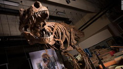 Scotty (Tyrannosaurus) wiki, Scotty (Tyrannosaurus) history, Scotty (Tyrannosaurus) news