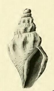 Bathytoma lacertosus