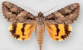 Catocala johnsoniana