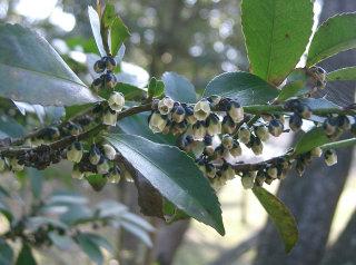 Eurya japonica
