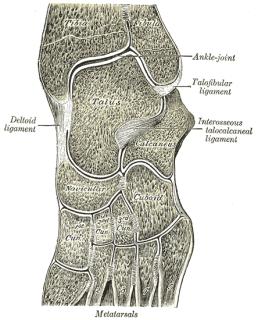 Intertarsal joints