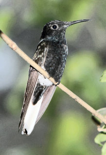 Jacobin (hummingbird)
