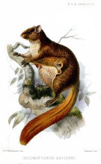 Javanese flying squirrel