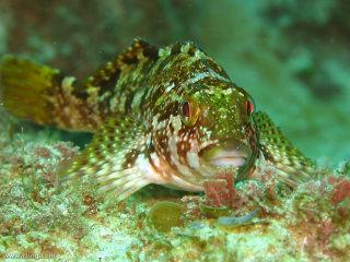 Large kelpfish