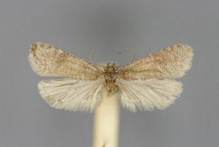Levipalpus hepatariella