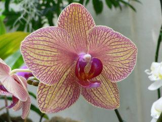 Phalaenopsis 'Kaleidoscope'