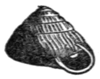 Strobilops labyrinthicus