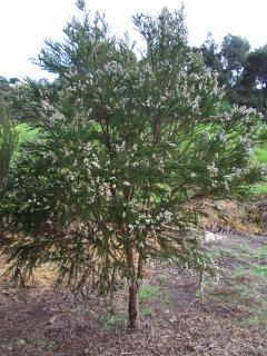 Taxandria juniperina
