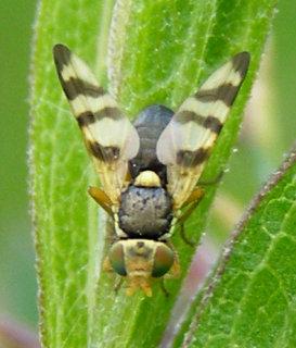 Urophora jaceana